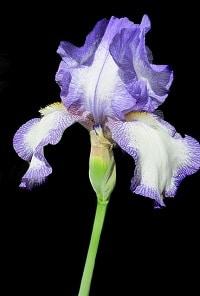 Iris Männerparfum